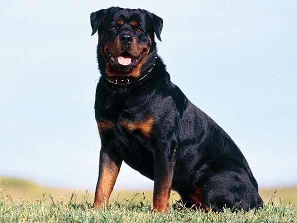 Nằm mơ thấy chó đen có ý nghĩa gì trong cuộc sống