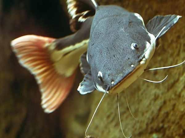 Mơ thấy cá trê là điềm báo gì