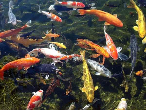 Mơ thấy nhiều cá